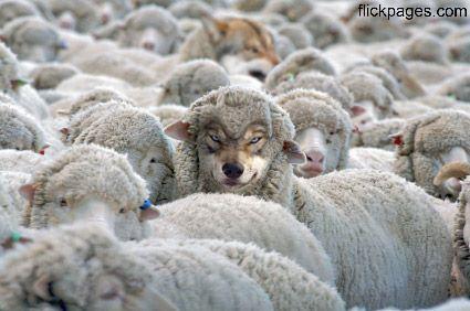 Wölfe im Schafsfell sind erkannt !